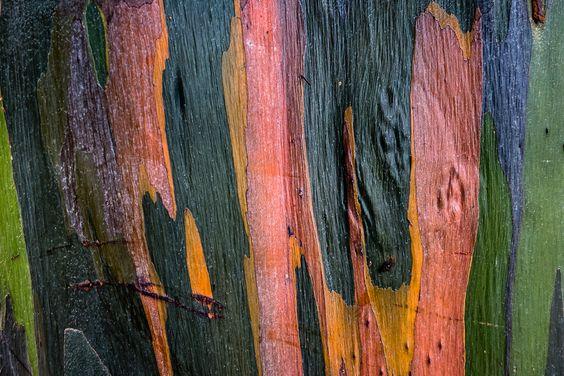 Rainbow eucalyptus Costa Rica