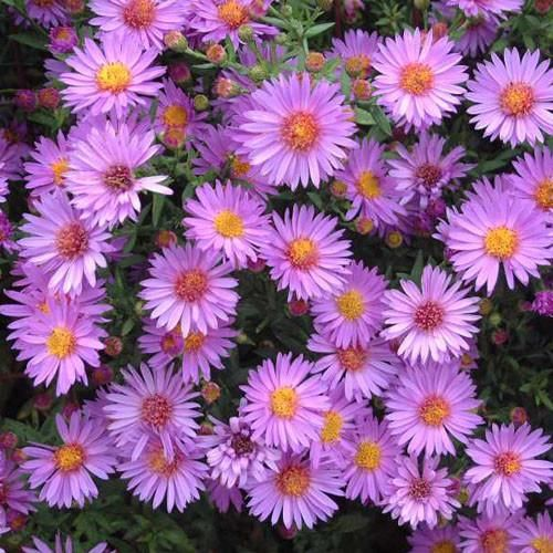 Aster Wood S Pink Aster Dumosus Wood S Pink Is A Hardy Late Blooming Perennial With Lavender Pink Flowers Its Dai In 2020 Purple Perennials Aster Showy Flowers