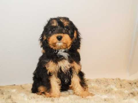 Small Ruby Cavachon Male Cavachon Black Cavapoo Cavapoo