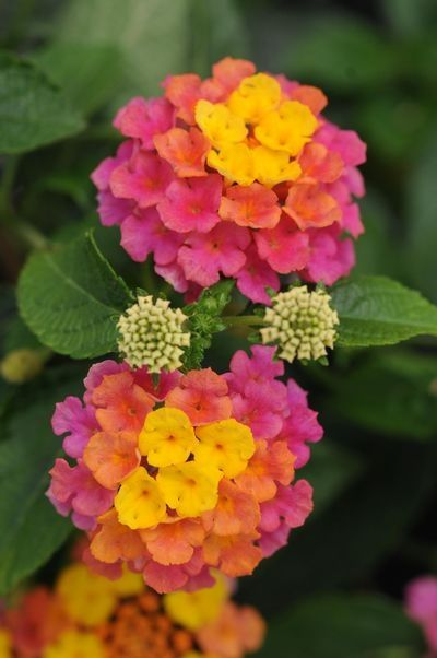 """Lantana ~ """"Landmark Sunrise Rose"""" - It starts yellow, then matures to coral and then to pink! Doesn't need a lot of water either, it likes dry soil."""