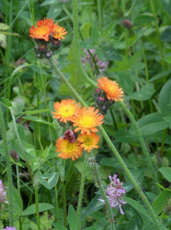 An Welchen Unkrautern Ein Kalkmangel Festgestellt Werden Kann Habichtskraut Gartenkalender Heilpflanzen