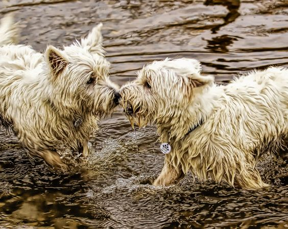 https://flic.kr/p/jtUQXn | Dogfight- Westie Style | West Highland Terriers play fighting in the lake.