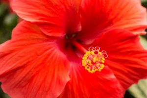 Hibiscus Rosa Sinensis Fim Cima Vermelho Flor Cabeca Hibiscus Flower Meaning Hibiscus Hibiscus Flowers