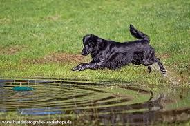 Bildergebnis für hundefotos Flat coated retriever