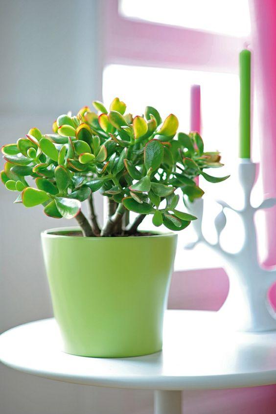 feng shui zimmerpflanzen geldbaum