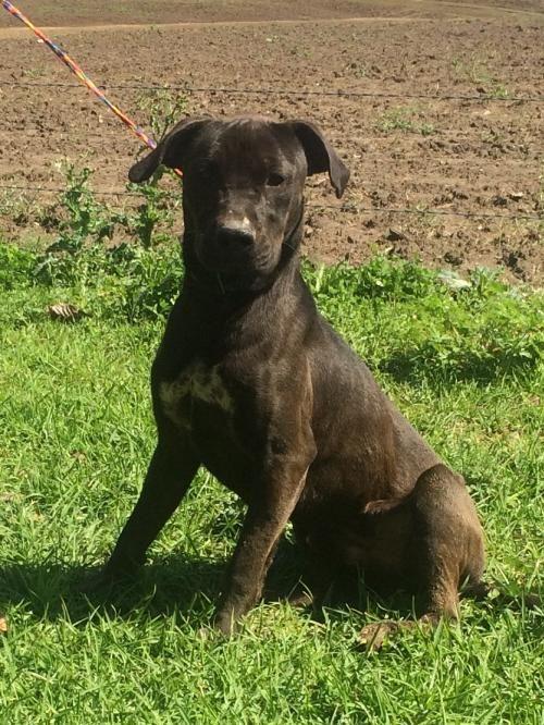 Adopt King On Pitbull Terrier Pitbulls Dogs