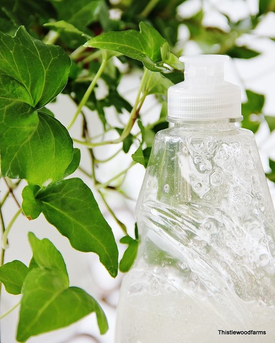 use dish washing detergent to keep your ivy healthy