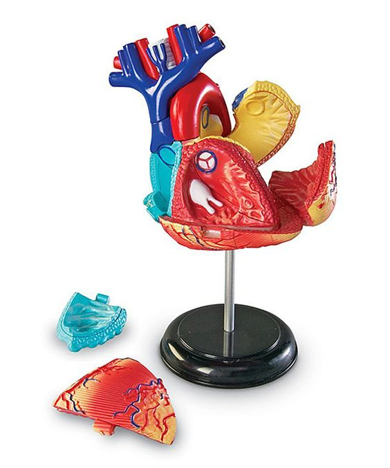 Look at this Heart Model Set on #zulily today!