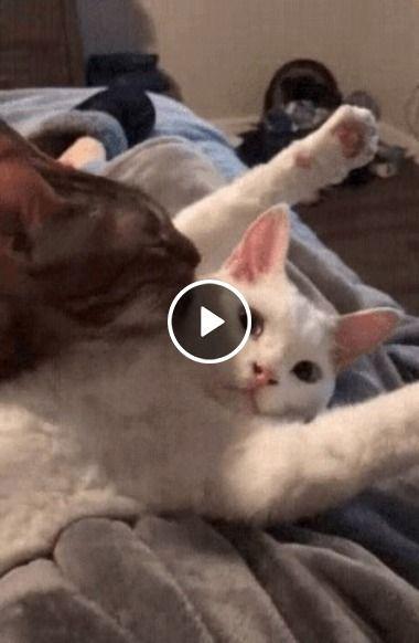 Gato mostrando para os Homens como deve tratar sua gatinha.