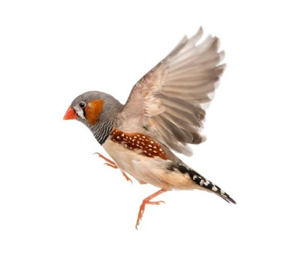 How to Protect a Zebra Finch Nest