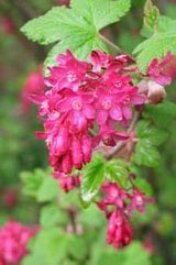 Ribes -red flowering Currant