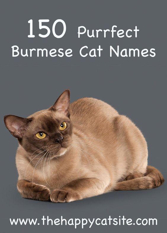 Burmese Cat Names Great Names To Call Your Cat Catfacts Burmese Cat Cat Names Cute Cat Names