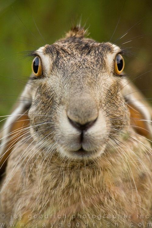 Portrait of a Jack rabbit.