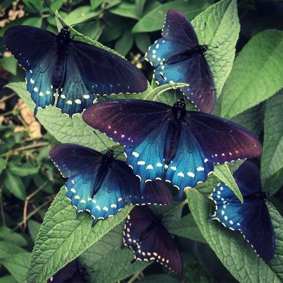 黒と青の蝶