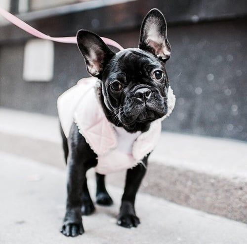 Untitled Cute Puppy Dog Animal Pets French Bulldog
