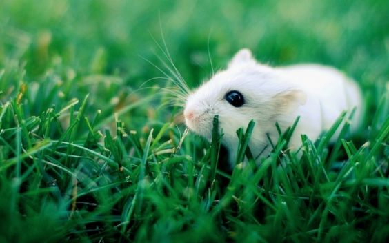 Why Are The White Rats Extremely Important Pouted Com Hamster Wallpaper Animals Cute Animals