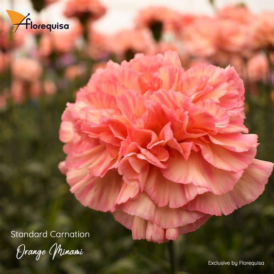 Standard Carnation Minami Series Premium And Exclusive Carnations For Mother S Day By Florequisa In 2020 Carnations Flower Market Flowers