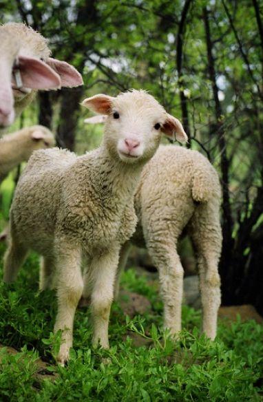 Curious lamb: