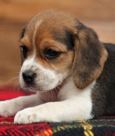 Obtain Fantastic Tips On Beagle Pups They Are Actually