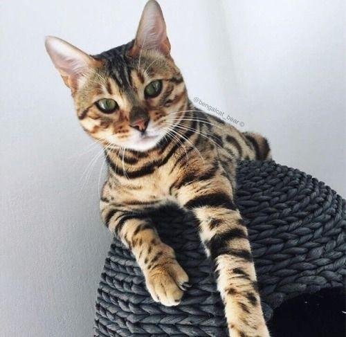 Bengal Cats Tumblr Animals Pet Day Bengal Cat