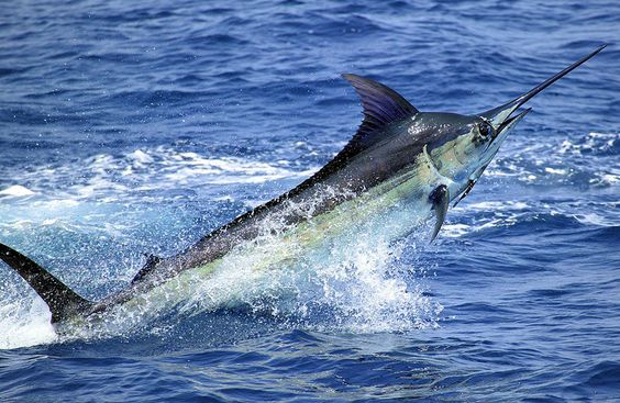 The blue marlin, one of the largest and most beautiful fish in the ocean, spends most of its life far out at sea.
