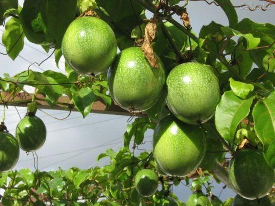 maracujá -fruto em latada