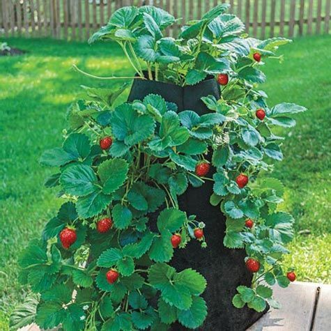 Grow Tub Strawberry Tower Gurney S Seed Nursery Co Strawberry Plants Strawberry Tower Growing Strawberries In Containers