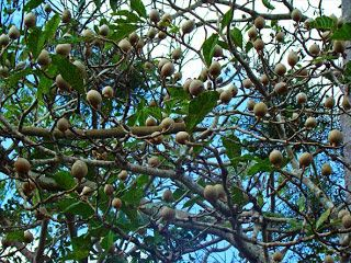 Jenipapo (Genipa americana L., Rubiaceae)