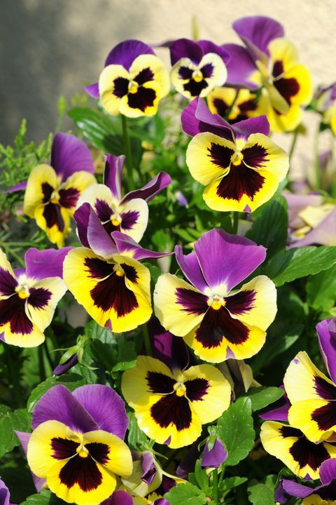 The Surprising Meanings Behind Your Favorite Flowers Pansies Flowers Pansies Flower Meanings