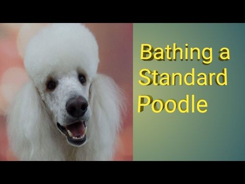 Bathing A Standard Poodle Youtube Poodle Bulldog Breeds