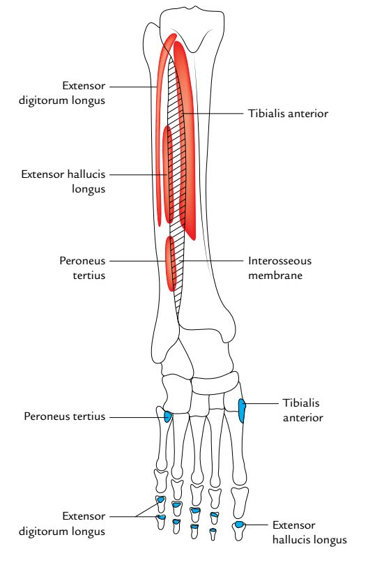 Image Result For Attachment Insertion Extensor Digitorum Longus Bones And Muscles Anatomy Anatomy Reference
