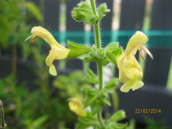 Salvia nubicola | Flickr - Photo Sharing!