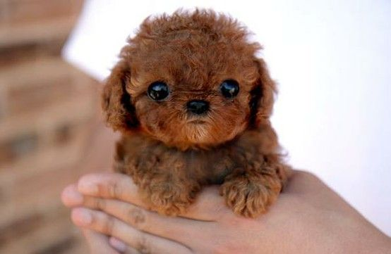 A curly-haired brown puppy being held by its owner.