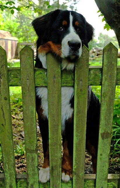omg i love you and i truly believe i will have a bernese mountain dog in my life sooner than later