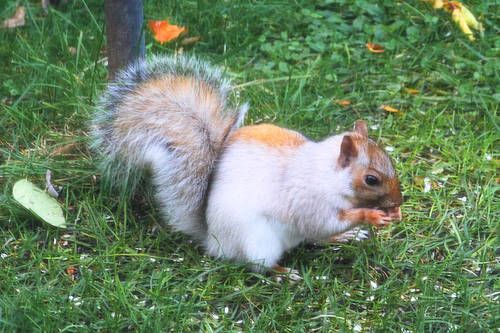 It's also possible for squirrels to have the piebald gene and come out multicolored. Many of the towns with significant white or albino squirrel populations trap and remove any normal colored animals so this discourages normal and piebald animals from being born.     (via Mutant White Squirrel):