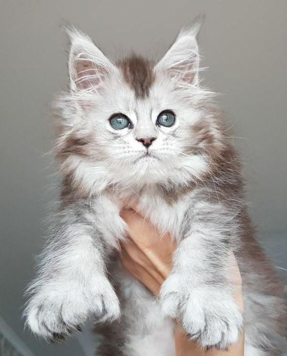 Graues Maine Waschbar Katzchen Mainecoon Cats Katzen Susse Tiere Mainecoon Katze