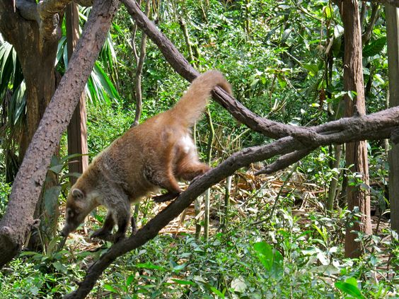 Coatimundi, related to racoons, that live in the jungles in Belize