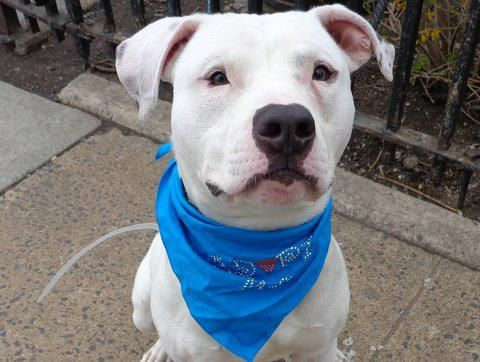 GONE RIP 4/20/13 Manhattan Center - CASSIDY.A0961120 a male white pit bull mix 2 YEARS old. He is smart and people oriented so will learn quickly with the proper reward based training. Cassidy wags his tail at everyone and loved sitting on the park bench Save Cassidy tonight! share/foster/adopt  https://www.facebook.com/photo.php?fbid=596297257049824=a.275017085844511.78596.152876678058553=3