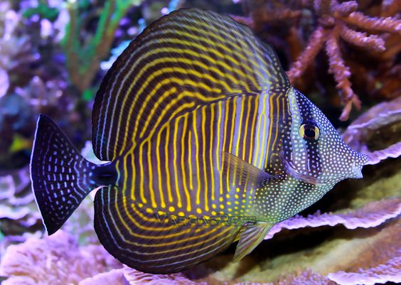 Red sea and red on pinterest for Red sea fish