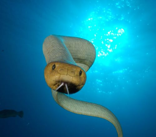 The Olive Sea Snake Is A Dangerous Venomous Snake From The