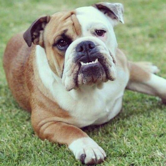 My beautiful bulldog London