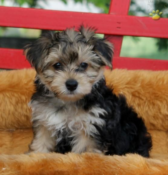 Leon - Yorkshire Terrier Puppy for Sale in Gap, PA | Lancaster Puppies