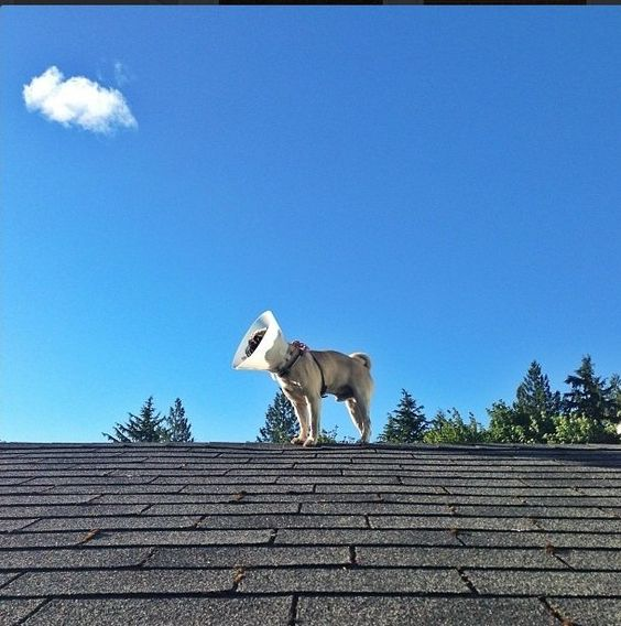 Pug on a roof!