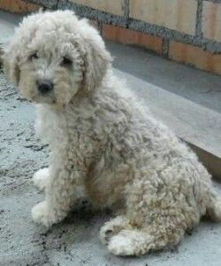 ... and other Cutes | Pinterest | Spanish Water Dog, Spanish and Dogs