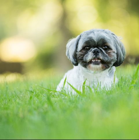 The Most Popular Breed Of Dog In Every State Dog Care Shih Tzu