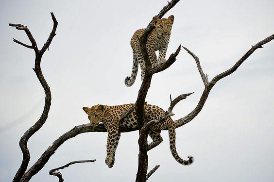 Leopards in Botswana  Source: Wilderness Safaris