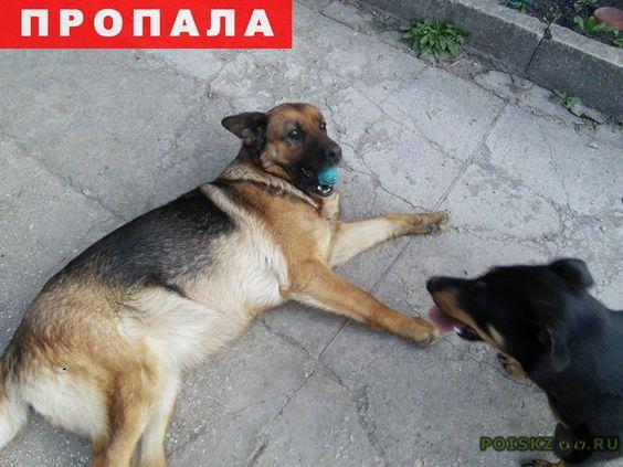 Пропала собака г.Симферополь http://poiskzoo.ru/board/read27785.html  POISKZOO.RU/27785 Убежали две немецкие овчарки, девочки, в районе Свободы. Одна взрослая, крупная, чепрачный окрас, на боку заживающая ранка. Откликается на кличку Веста. Вторая - молодая, длинношерстная, некрупная. Кличка Герда. Если кто-то видел или подобрал, сообщите! Важна любая информация  РЕПОСТ! @POISKZOO2 #POISKZOO.RU #Пропала #собака #Пропала_собака #ПропалаСобака #Симферополь