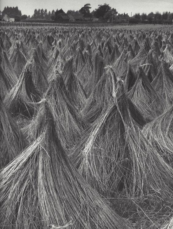""""""" Ricks of corn """" Holland, about 1951-1954. photo: Kees Scherer"""
