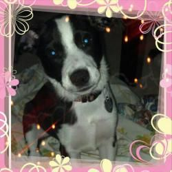Mali is an adoptable Border Collie Dog in Watertown, CT. Join CPR for the BIG ADOPTION EVENT (50+ puppies and dogs) at Petsense in Westbrook on 12/8 from 10-5!! Meet Mali! She is about 7 months old an...