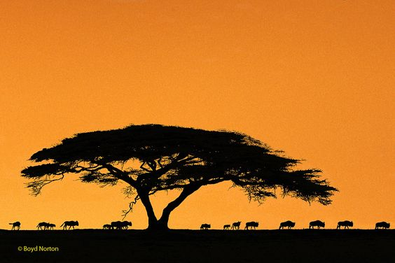 The Serengeti. Photo copyright Boyd Norton